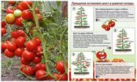 virashivanie-tomatov-v-2-steblya