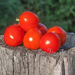 Сорт томата Анжелика