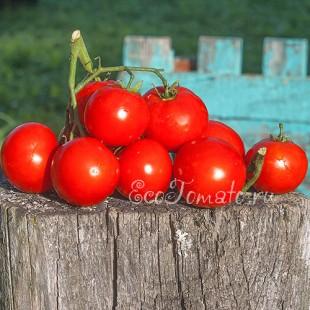 Сорт томата Аскет