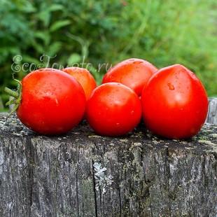 Сорт томата Balkonzauber (Балконное чудо), Германия