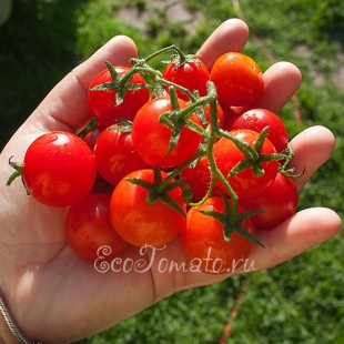 Сорт томата Божья Коровка