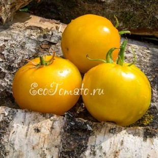 Сорт томата Dakota Gold (Дакота золотой), США