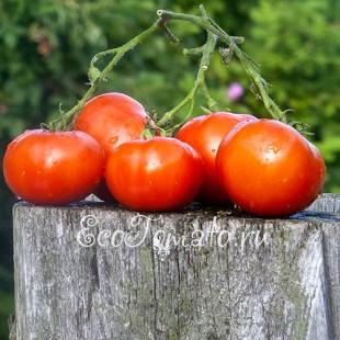 Сорт томата Данна