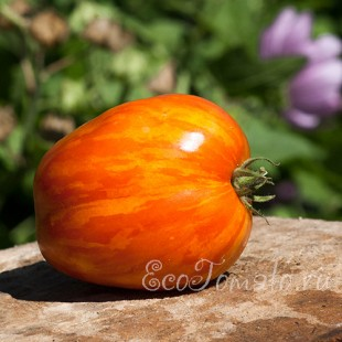 Сорт томата Дар солнца, оранжевый