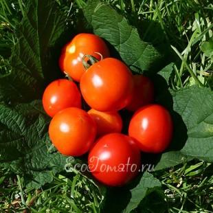 Сорт томата Дарыня