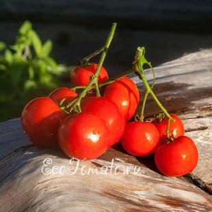 Сорт томата Для всех, Украина
