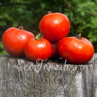 Сорт томата Дубрава (Дубок)