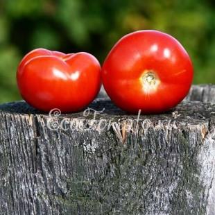 Сорт томата Гея