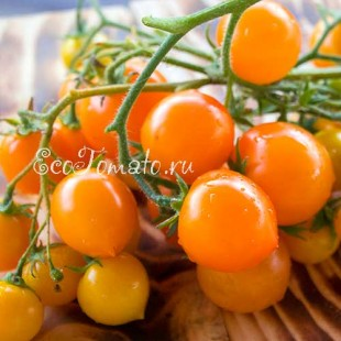 Сорт томата Горшечный оранжевый