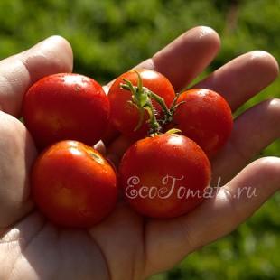 Сорт томата Григорашек
