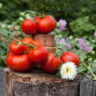 Сорт томата Грунтовый 6
