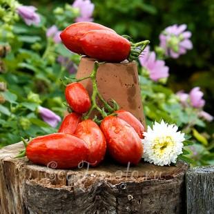 Сорт томата Грушка Полосатая