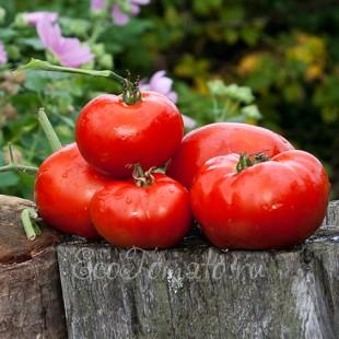 Сорт томата Июльские