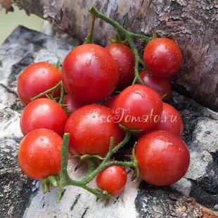 Сорт томата Корейский стелющийся