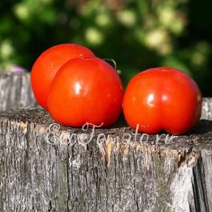 Сорт томата Лебедик