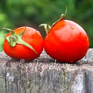 Сорт томата Ленивец