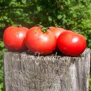 Сорт томата Летняя Зорька