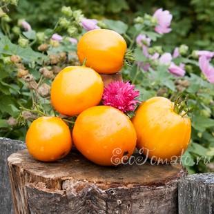 Сорт томата Лимон Алма-Атинский