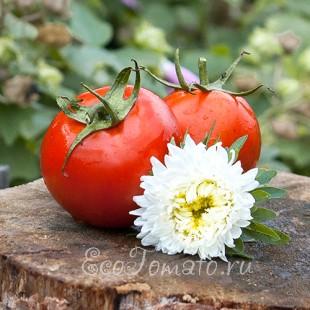 Сорт томата Лучезарный, Казахстан