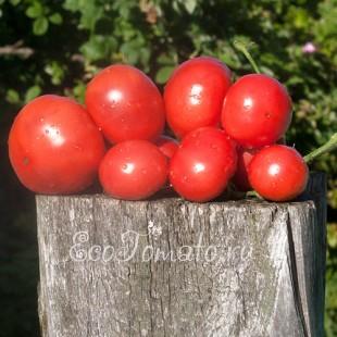 Сорт томата Малиновка, Украина