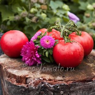 Сорт томата Мичуринец