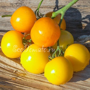 Сорт томата Нижегородский кудябник