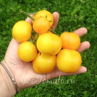 Сорт томата Ола Полка