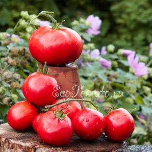 Сорт томата Павловская Роза