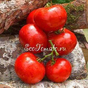 Сорт томата Подсинеевский ранний