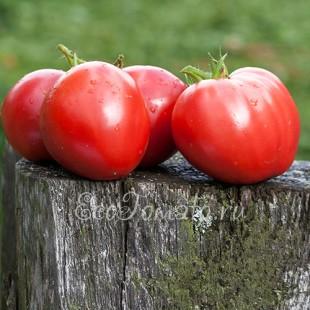 Сорт томата Покоритель сердец, розовый