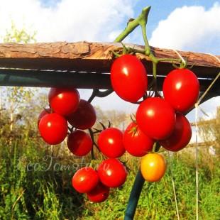 Сорт томата Пупсики Красные