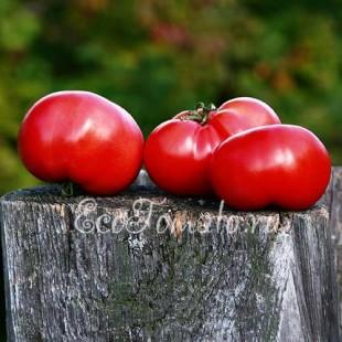 Сорт томата Розовый Сараева