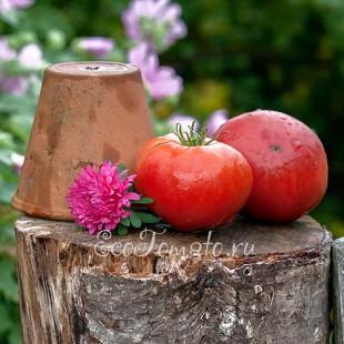 Сорт томата Румяные