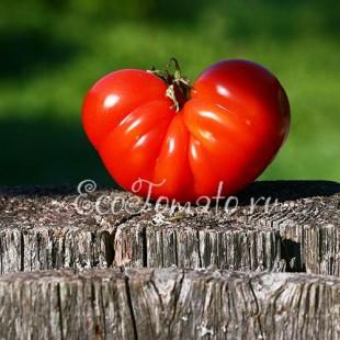 Сорт томата Софи