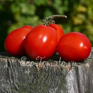 Сорт томата Сонно