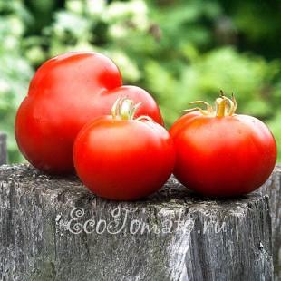 Сорт томата Супер-томат
