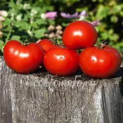 Супер-томат, Сараева