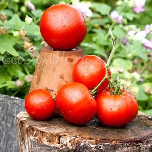 Сорт томата Сверхранние, Украина