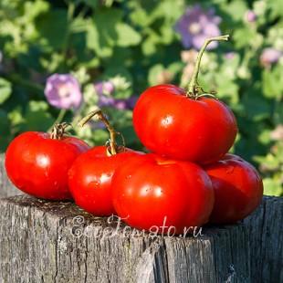 Сорт томата Тамбовский урожайный