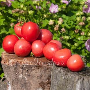 Сорт томата Титан розовый