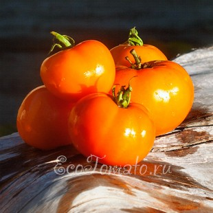 Сорт томата Царская ветка