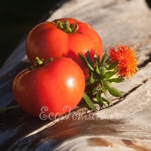 Сорт томата Венера, Казахстан