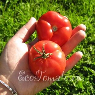 Сорт томата Весенние Заморозки