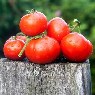 Сорт томата Весенняя Капель