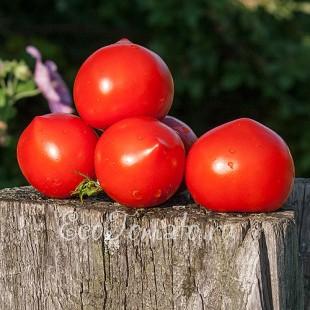 Сорт томата Волгарь