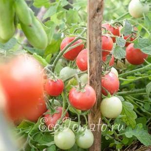 Сорт томата Садовая жемчужина, розовая