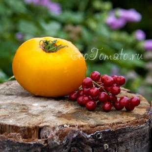 Сорт томата Dwarf Golden Gypsy (Гном Золотой Цыган, Голден Джипси)