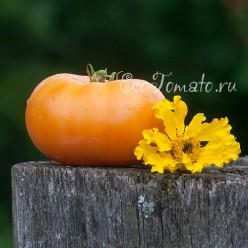 Dwarf Orange Cream (Гном Оранжевый Крем)