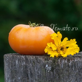 Сорт томата Dwarf Orange Cream (Гном Оранжевый Крем)