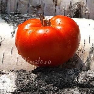 Сорт томата Dwarf Sweet Scarlet (Гном Сладкая Скарлет), США